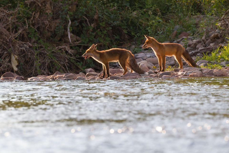 Renard roux - Vulpes vulpes
