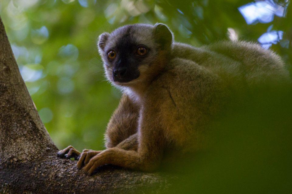 Lemur à front rouge - Eulemur rufifrons