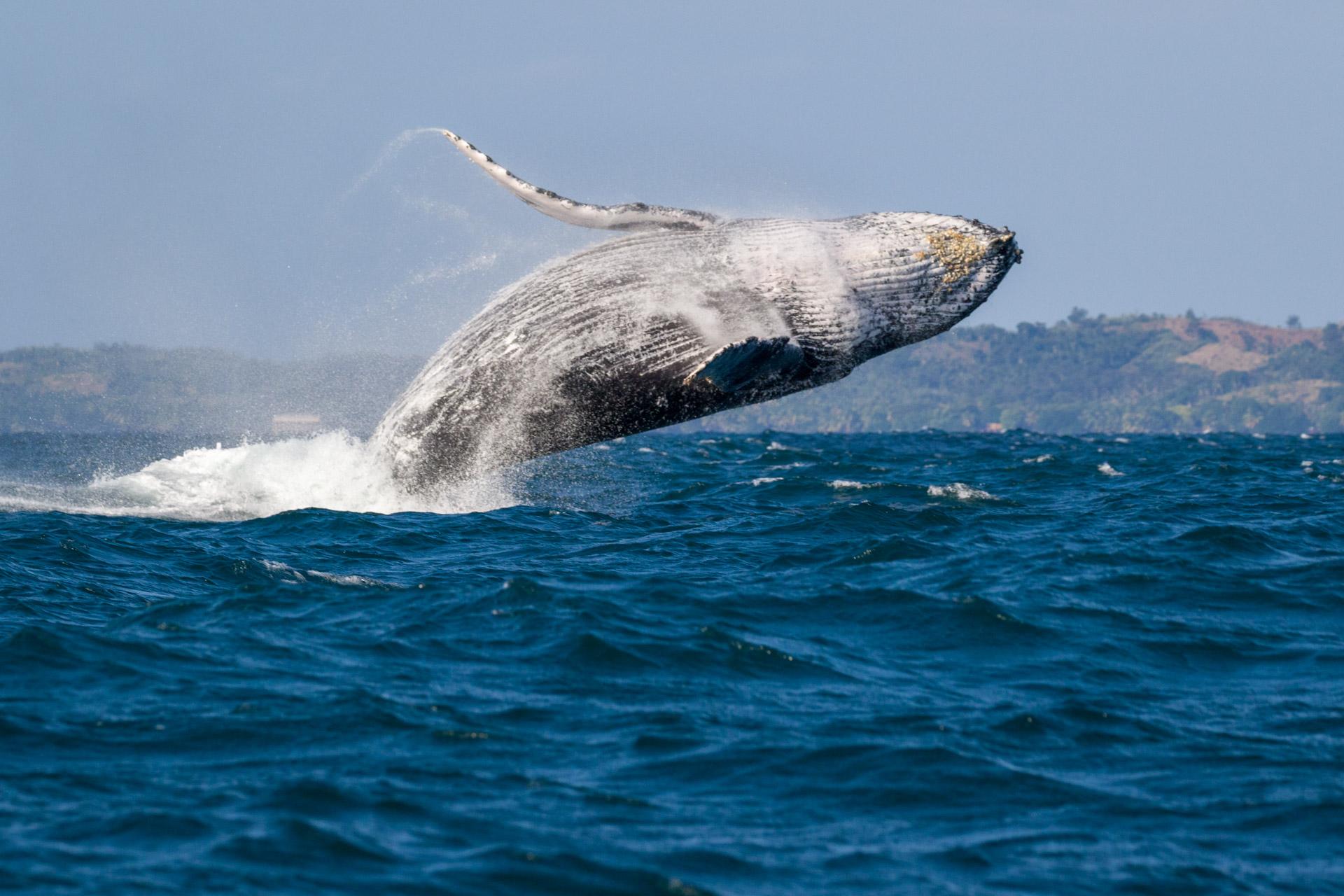 Baleine à bosses - Megaptera novaeangliaeptera