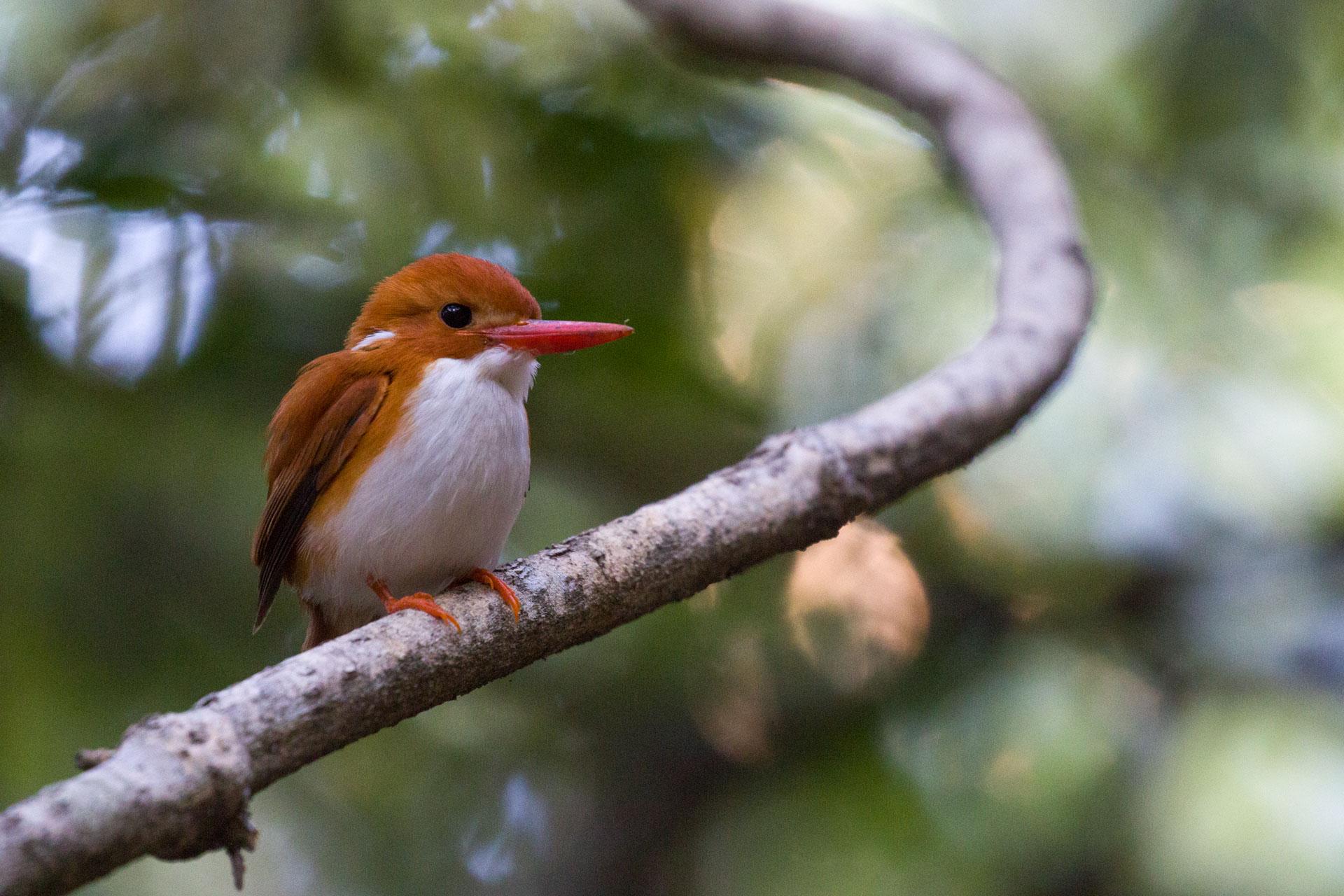 Martin-pêcheur malgache - Corythornis madagascariensis